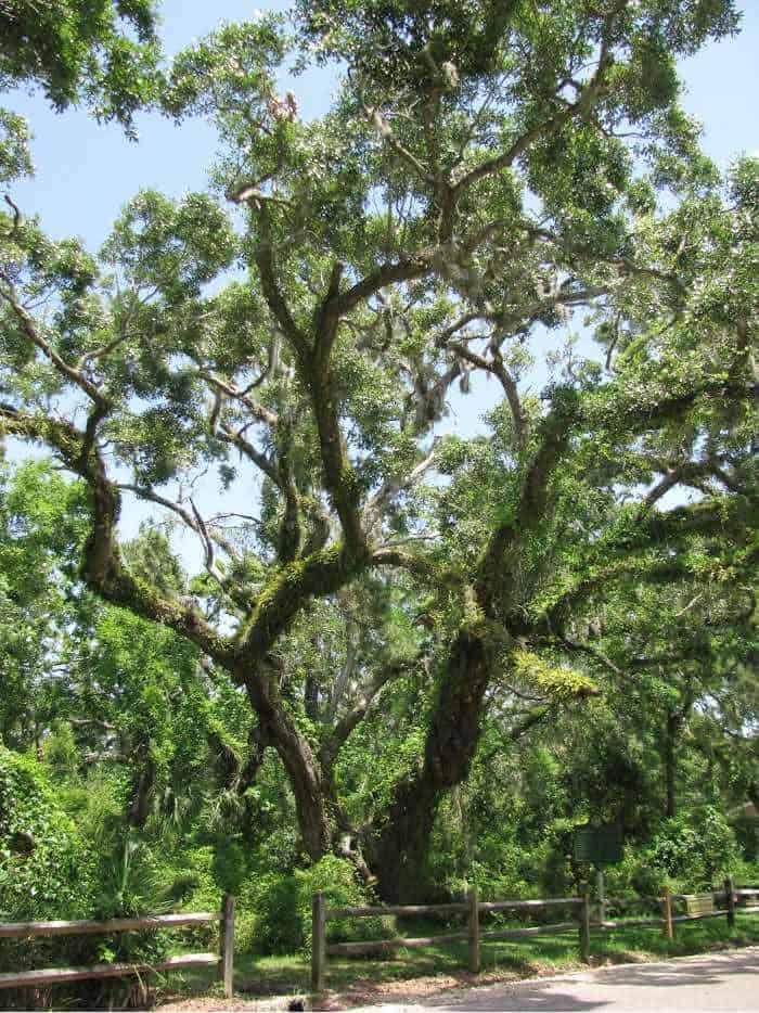 dauphin-island-goat-tree-reserve